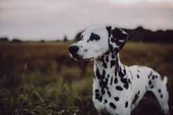 Dalmatiner auf weiter Flur