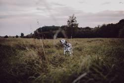 Abenteuer eines Dalmatiners
