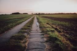 Dalmatiner läuft Feldweg entlang