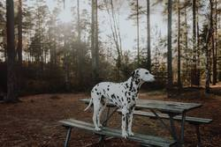 Dalmatiner Hund steht im Wald auf einer Parkbank Gegenlicht