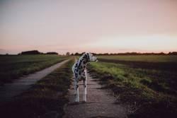 Dalmatiner steht auf Feldweg und schaut