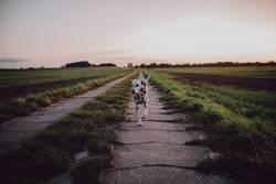 Dalmatiner geht spazieren