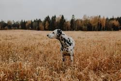 Hund Dalmatiner im Kornfeld Getreidefeld Feld