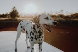 Dalmatiner bei Sonnenuntergang
