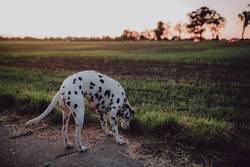 Dalmatiner auf der Suche