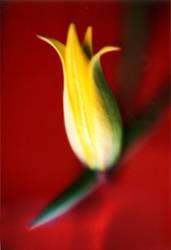 Tulpen Rot - Frühlingsgrüsse