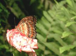 Schmetterling / Butterfly