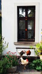 Aller guter Hühner sind 3.