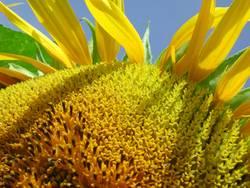 Sonnenblume Makro