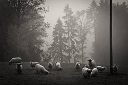 black & white sheeps