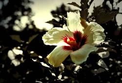 hibiscus im sommer