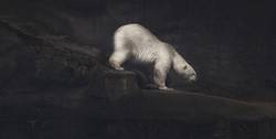 Climbing white polar bear artwork