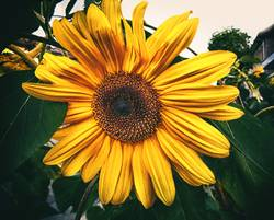 Last sunflower in autumn