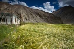 Wheat field located in Marhka Valley near city of Leh India