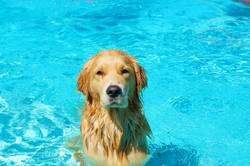Dog taking a bath in a pool on summer time