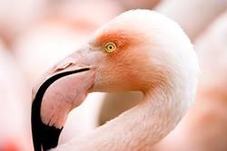 Portait of a flamingo (lat. Phoenicopteridae), captive