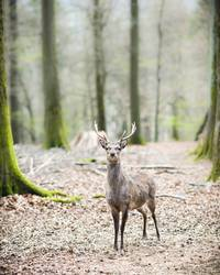 young male sika deer (lat. cervus nippon)