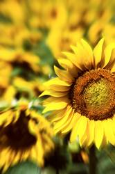 Sunflower of LSD