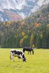 Kuh und Pferd