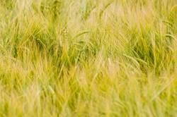Wind tanzt durchs Gras