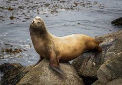 Large Male Sea Lion Urinates on Rock with Ocean Background
