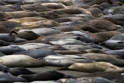 Large Colorful Group Elephant Seals Sleeping on Beach