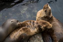 Group of Three Sleeping Sea Lions with Water