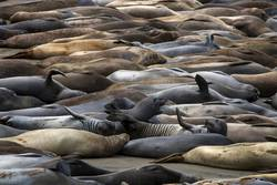 Colorful Elephant Seals in Variety of Poses on California Beach