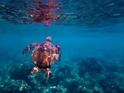 Green Sea Turtle Swims Towards Surface Underwater