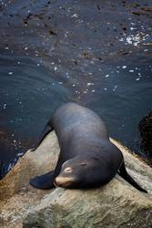Male Sea Lion Sleeping on Rock with Kelp Forest Behind