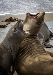 Pair of Close Up Elephant Seals Fight on Sandy Beach