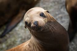 Sea Lion Looks at Camera with Big Brown Eyes and Whiskers
