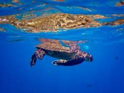 Green Sea Turtle with Blue Needlefish Underwater