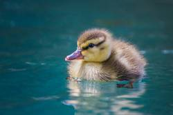 Close up baby Mallard duckling floats in blue pool