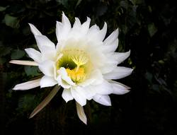 Huge Cactus Flower Blooming in Bright White and Yellow