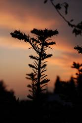 Möchtgernbaum