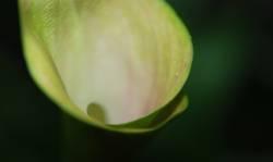callagreen