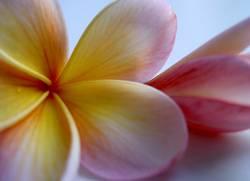 Hawaii Blume