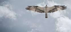 Osprey - Fischadler