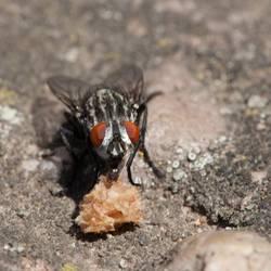 Kleine Fliege mit großem Hunger