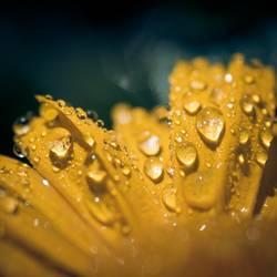 Blütenschweiß