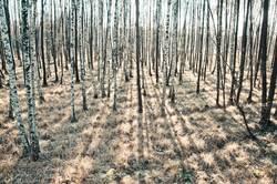 Wald der langen Schatten