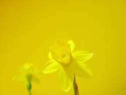 gelbe blume auf gelbem grund*