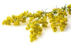cleavers, Galium, verum, Genuine, blossom