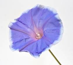 Tricolour Prunkwinde; Ipomoea purpurea; tricolor