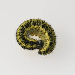 Caterpillars, large brooch, pieris, brassicae