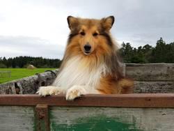 Sheltie, Shetland Sheepdog