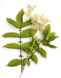 Filipendula, ulmaria, water plant, herb