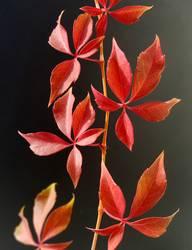 Wild Wine; Autumn, Parthenocissus quinquefolia