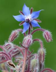 Borago, officinalis, Cucumber herb, Medicinal plant